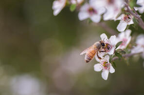 Manuka Oil and Manuka Honey