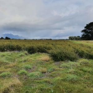 Kunzea field