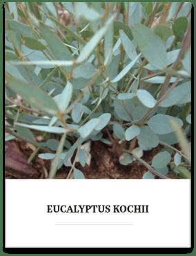 eucalyptus-kochii