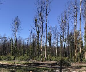 new tree growth after bushfires