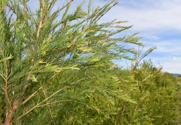 Antimicrobial Applications of Tea Tree